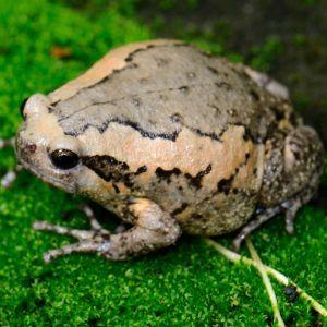 Burmese Chubby Bull frog (Kaloula pulchra)