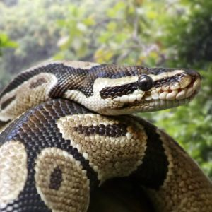 Close up of ball pythin also known as royal python