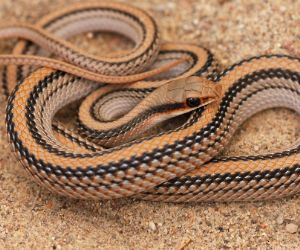 Desert Patch-nosed Snake (Salvadora hexalepis deserticola) by JN Stuart
