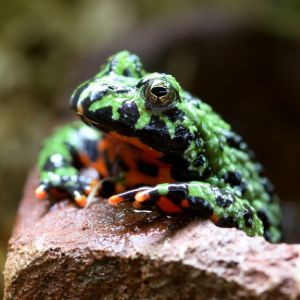 Fire bellied toad (Bombina orientalis) propping up on edge of rock