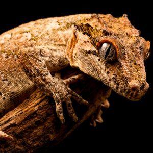 Gargoyle gecko (Rhacodactylus auriculatus) on branch in enclousre with black background