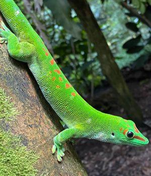 Gold Dust Day Gecko (Phelsuma laticauda) on tree in woods