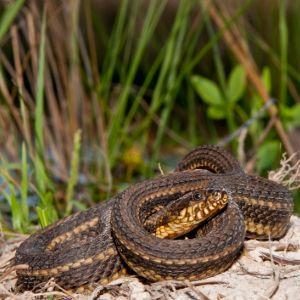 Gulf Salt Marsh Snake (Nerodia clarkii) coiled up in habitat