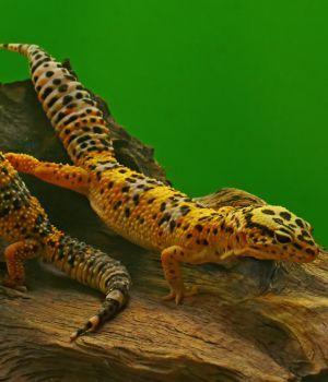 Leopard geckos on log in enclosure (Eublepharis macularius)