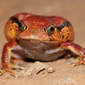 Madagascar Tomato Frog (Dyscophus antongilii) sitting in sand