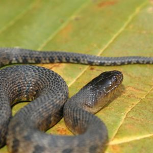 Mississippi Green Water Snake (Nerodia cyclopion) on leaf