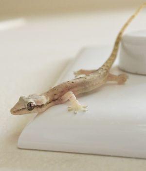 Mourning Gecko (Lepidodactylus lugubris) on cooking island