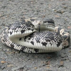 Northern Pine Snake (Pituophis melanoleucus)