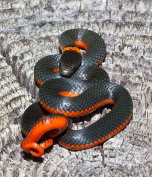 Northwestern Ring-necked Snake (Diadophis punctatus occidentalis)