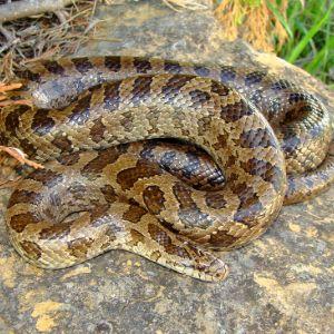 Prairie Kingsnake ( Lampropeltis calligaster) a constrictor snake that eats venomous rattlesnakes and other snakes