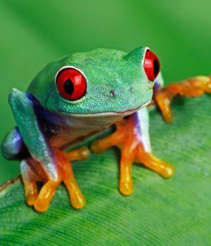 Red eyed tree frog (Agalychnis callidrya) on leaf