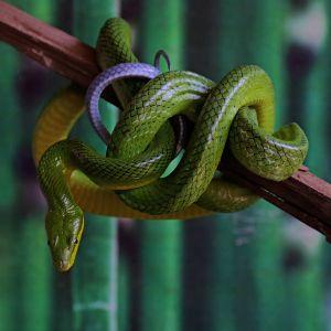 Red-tail green rat snake (Gonyosoma oxycephalum) resting on branch in enclosure