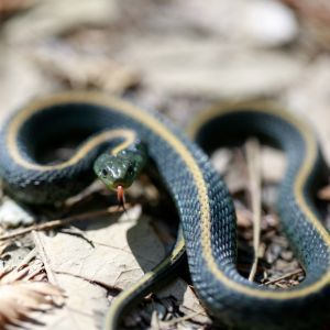 Santa Cruz Gartersnake - Thamnophis atratus atratus on forest floor in defensive position