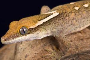Sarasinorum Gecko