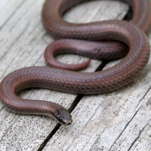 Sharp-tailed Snake (Contai tenuis) on wooden deck
