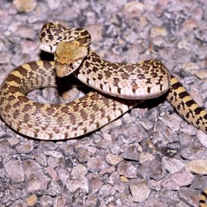 Sonoran Gopher Snake (Pituophis catenifer affinis) on gravel
