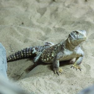 Spiny - Tailed Lizard (Uromastyx) in sand