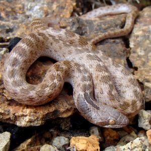Texas Night Snake, (Hypsiglena torquata jani) in rocky desert habitat