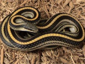 Texas Patch-nosed snake (Salvadora grahamiae lineata) (1)