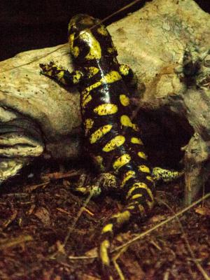 Tiger salamander ( Ambystoma tigrinum) in a terrarium habitat with water