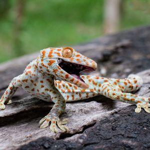 Tokay gecko clings (Gekko gecko) into a tree on green blurred background