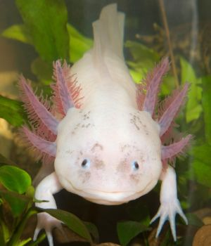Underwater Axolotl (Ambystoma mexicanum) portrait close up in an aquarium
