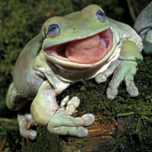 White's tree frog (Litoria caerulea) with mouth open