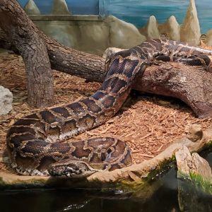Burmese python (Python bivittatus) in Jacksonville Zoo
