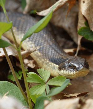 Eastern Hog-nosed Snake (Heterodon platirhinos)