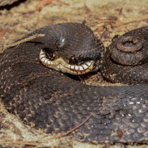Eastern Hognose Snake (Heterodon platirhinos) curled up flattening its head