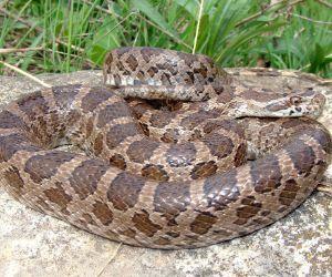 Great Plains Rat Snake (Pantherophis emoryi) on a limestone rock