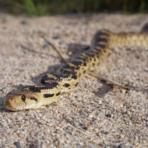 Head on view of a gopher snake (Pituophis catenifer) on sand