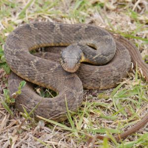 Plain bellied water snake (Nerodia erythrogaster) curled up on grass