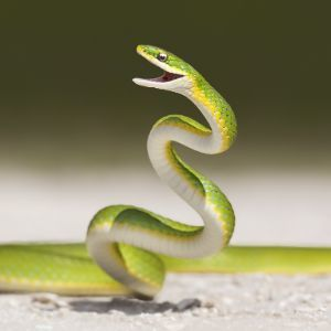 Rough green snake (Opheodrys aestivus) in defensive position while crossing road