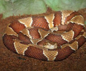 Southern Copperhead (Agkistrodon Contortrix Contortrix)