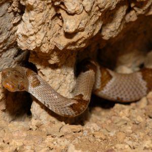 Texas Lyre Snake (Trimorphodon biscutatus vilkinsonii) in rock crevice
