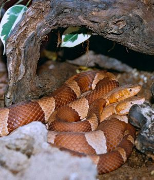 Two captive Broad-banded Copperheads (Agkistrodon contortrix laticinctus)