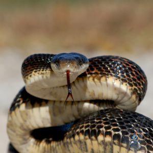 Western rat snake ready to strike (Pantherophis obsoletus)
