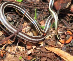 Asian Coral Snake (Calliophis bivirgatus)
