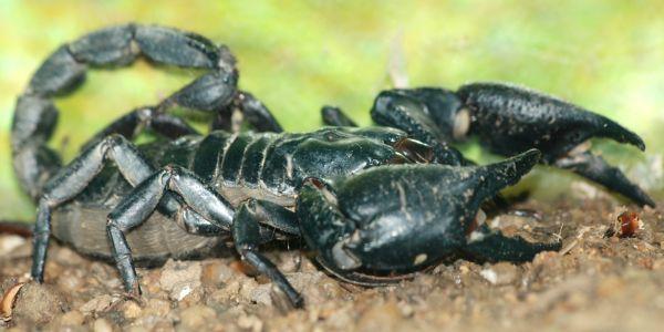 Asian Forest Scorpion (Heterometrus spinifer) on dirt (1)