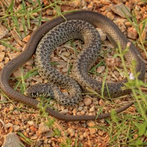 Balkan Whip Snake (Hierophis gemonensis) by Alexandre Roux