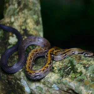 Black Copper Rat Snake (Coelognathus flavolineatus) - Kaeng Krachan National Park
