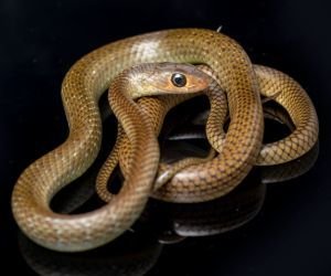 Chinese Rat Snake (Ptyas korros)