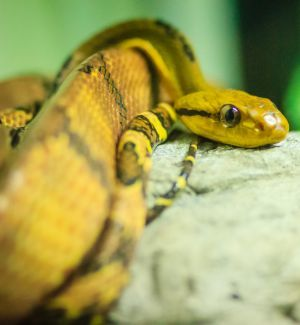 Dog-Toothed Cat Snake (Boiga cynodon)