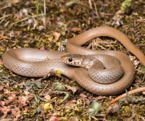 Dwarf Snake (Kalaentzis Eirenis modestus Symi)