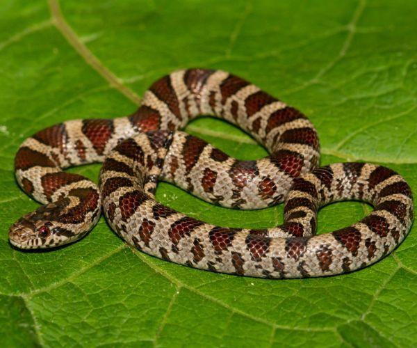 Eastern Milk Snake (Lampropeltis triangulum) on leaf