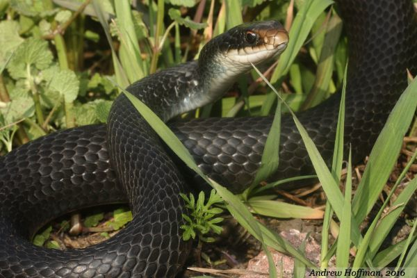 Eastern Racer (Coluber constrictor) by Andrew Hoffman