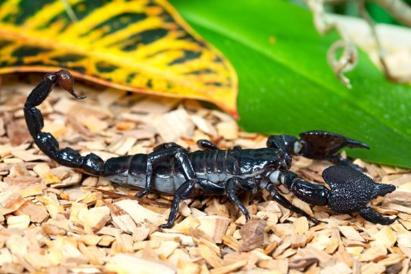 Emperor Scorpion (Pandinus imperator) in enclosure