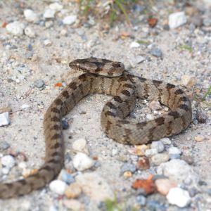 European Cat Snake (Telescopus fallax)