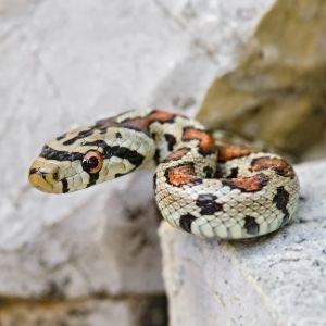 European Rat Snake (Zamenis situla)